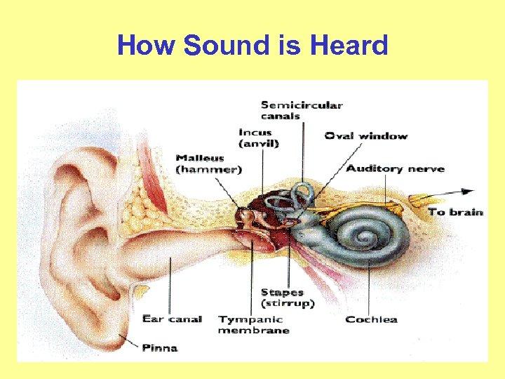 How Sound is Heard