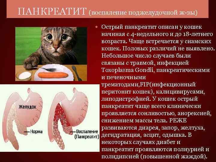 Панкреатит у кошек бывает острым и хроническим.