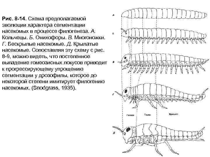 Рис. 8 -14. Схема предполагаемой эволюции характера сегментации насекомых в процессе филогенеза. А. Кольчецы.