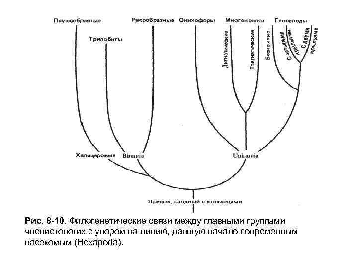 Рис. 8 -10. Филогенетические связи между главными группами членистоногих с упором на линию, давшую