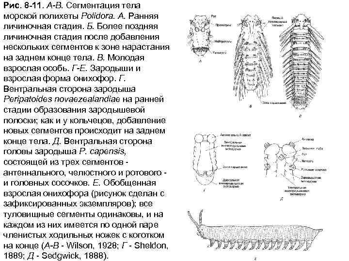 Рис. 8 -11. А-В. Сегментация тела морской полихеты Polidora. А. Ранняя личиночная стадия. Б.