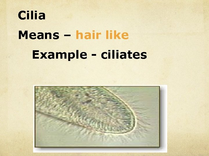 Cilia Means – hair like Example - ciliates
