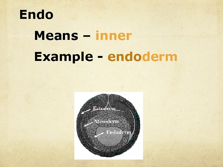 Endo Means – inner Example - endoderm