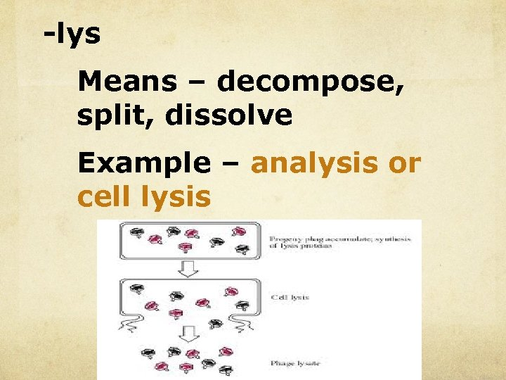 -lys Means – decompose, split, dissolve Example – analysis or cell lysis