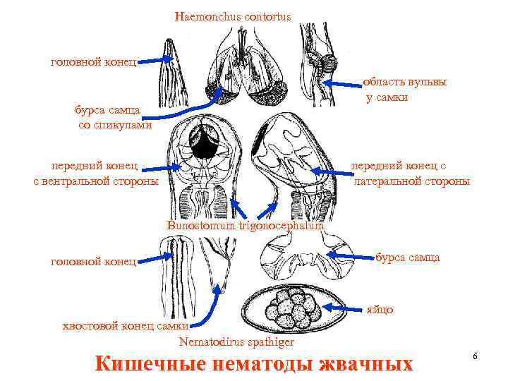 Haemonchus contortus головной конец область вульвы у самки бурса самца со спикулами передний конец