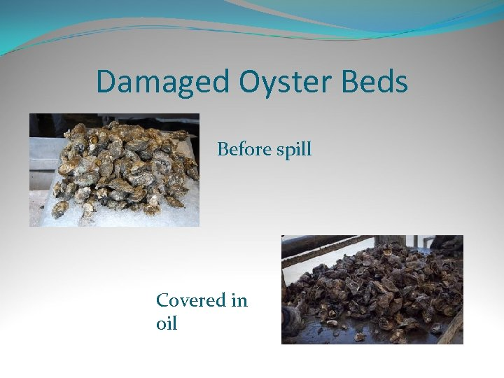Damaged Oyster Beds Before spill Covered in oil