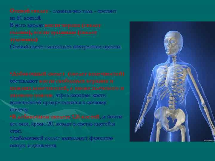 Осевой скелет - главная ось тела - состоит из 80 костей. В него входят