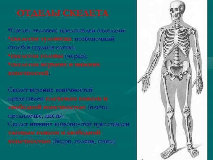 ОТДЕЛЫ СКЕЛЕТА • Скелет человека представлен отделами: • скелетом туловища: позвоночный туловища столб и