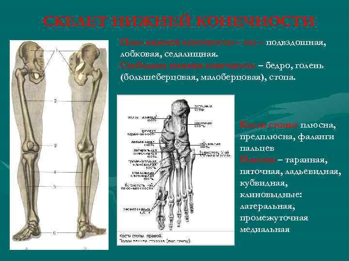 СКЕЛЕТ НИЖНЕЙ КОНЕЧНОСТИ Пояс нижней конечности – таз – подвздошная, лобковая, седалищная. Свободная нижняя