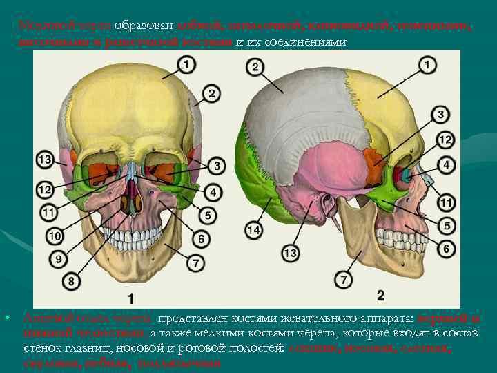Мозговой череп образован лобной, затылочной, клиновидной, теменными, височными и решетчатой костями и их соединениями