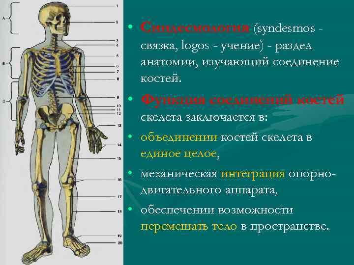 • Синдесмология (syndesmos связка, logos - учение) - раздел анатомии, изучающий соединение костей.