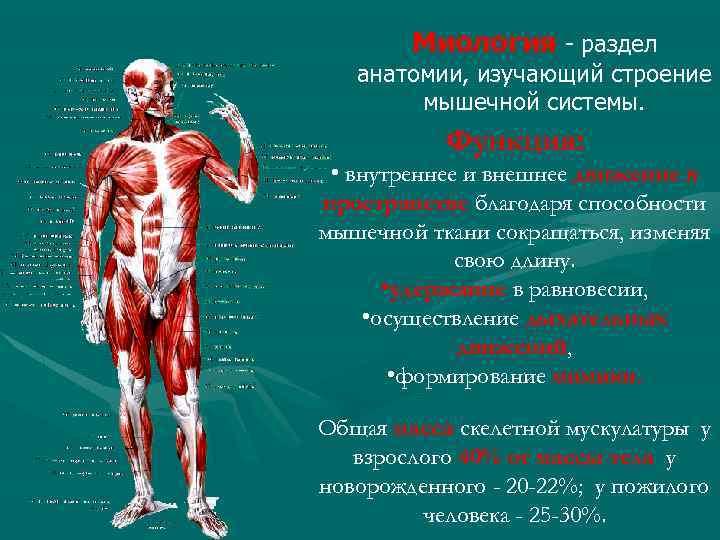 Миология - раздел анатомии, изучающий строение мышечной системы. Функция: Функци • внутреннее и внешнее