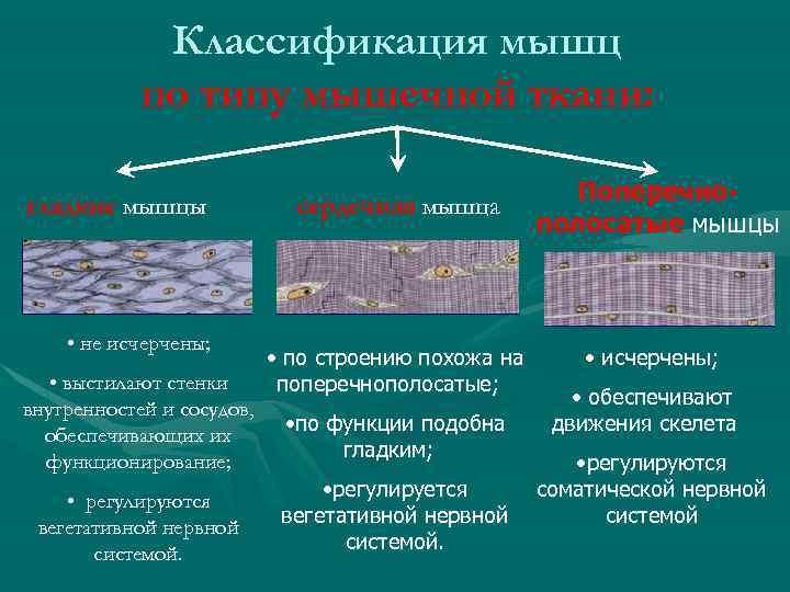 Классификация мышц по типу мышечной ткани: гладкие мышцы • не исчерчены; • выстилают стенки