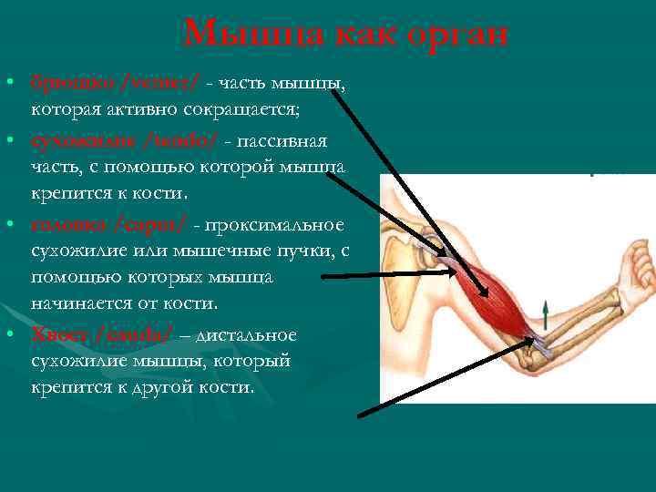Мышца как орган • брюшко /venter/ - часть мышцы, которая активно сокращается; • сухожилие