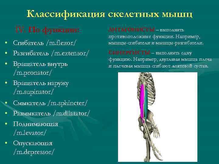 Классификация скелетных мышц IV. По функции: • Сгибатель /m. flexor/ • Разгибатель /m. extensor/