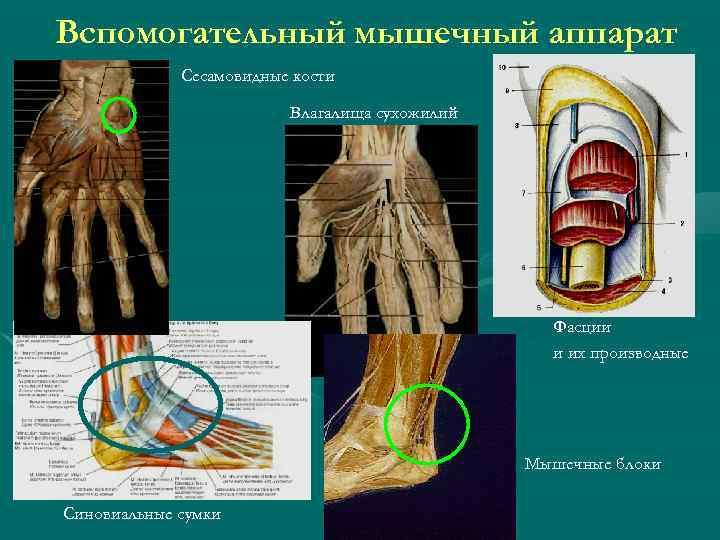 Вспомогательный мышечный аппарат Сесамовидные кости Влагалища сухожилий Фасции и их производные Мышечные блоки Синовиальные