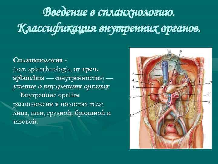 Введение в спланхнологию. Классификация внутренних органов. Спланхнология (лат. splanchnologia, от греч. splanchna — «внутренности»