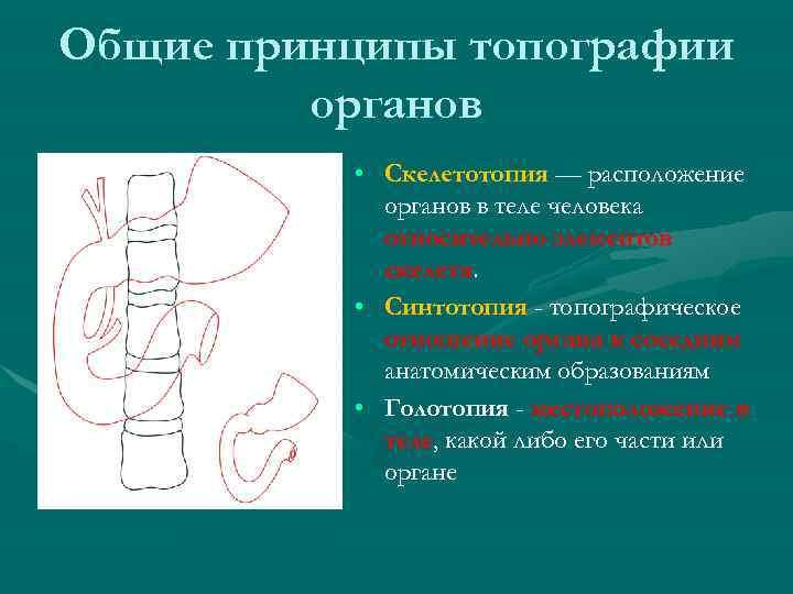 Общие принципы топографии органов • Скелетотопия — расположение органов в теле человека относительно элементов