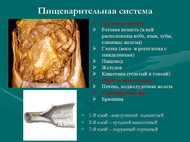 Пищеварительная система Ø Трубчатые органы: Ø Ротовая полость (в ней расположены небо, язык, зубы,
