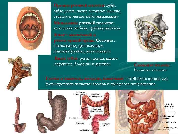 Органы ротовой полости: губы, полости зубы, десна, щеки, слюнные железы, твердое и мягкое небо,