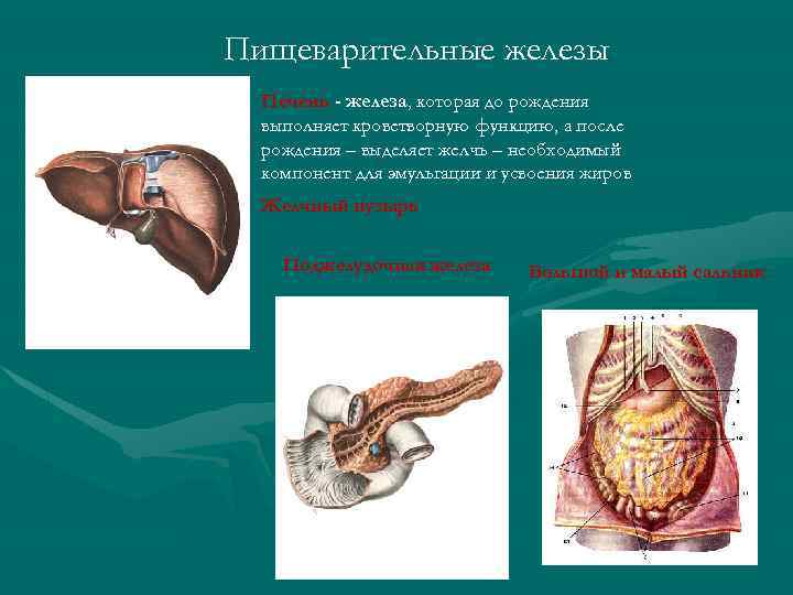 Пищеварительные железы Печень - железа, которая до рождения выполняет кроветворную функцию, а после рождения