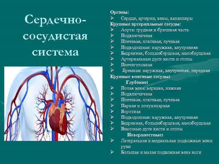Сердечнососудистая система Органы: Ø Сердце, артерии, вены, капилляры Крупные артериальные сосуды: Ø Аорта: грудная