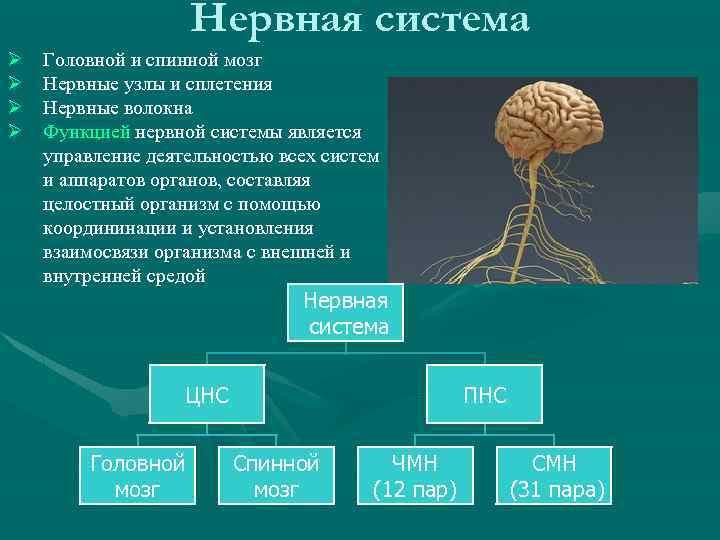 Нервная система Ø Ø Головной и спинной мозг Нервные узлы и сплетения Нервные волокна