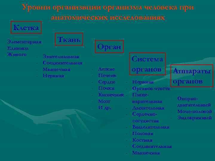 Уровни организвции организма человека при анатомических исследованиях Клетка Ткань Элементарная Орган Единица Живого -