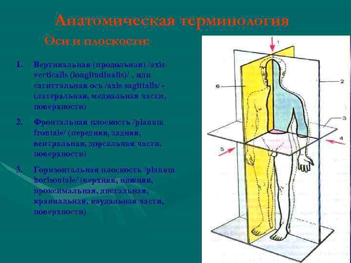 Анатомическая терминология Оси и плоскости: 1. Вертикальная (продольная) /axis verticalis (longitudinalis)/ , или сагиттальная