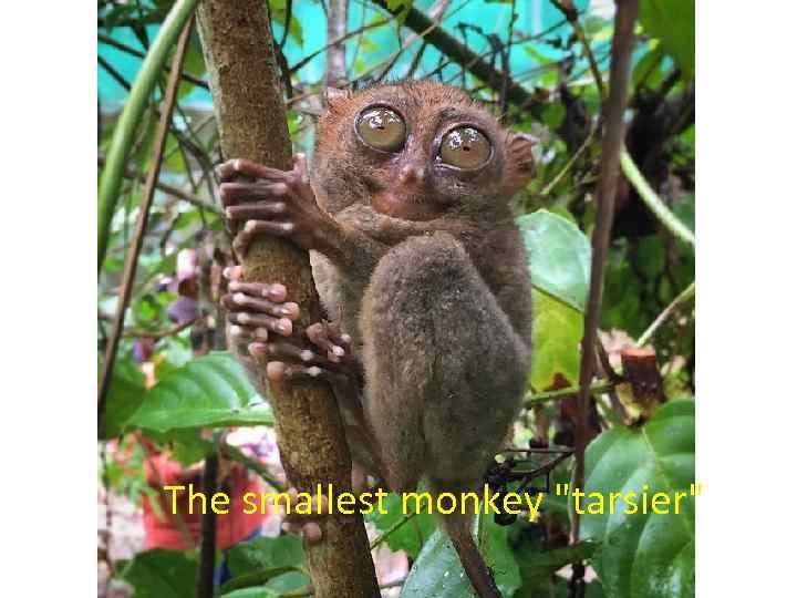The smallest monkey