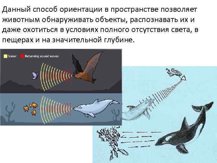 Данный способ ориентации в пространстве позволяет животным обнаруживать объекты, распознавать их и даже охотиться