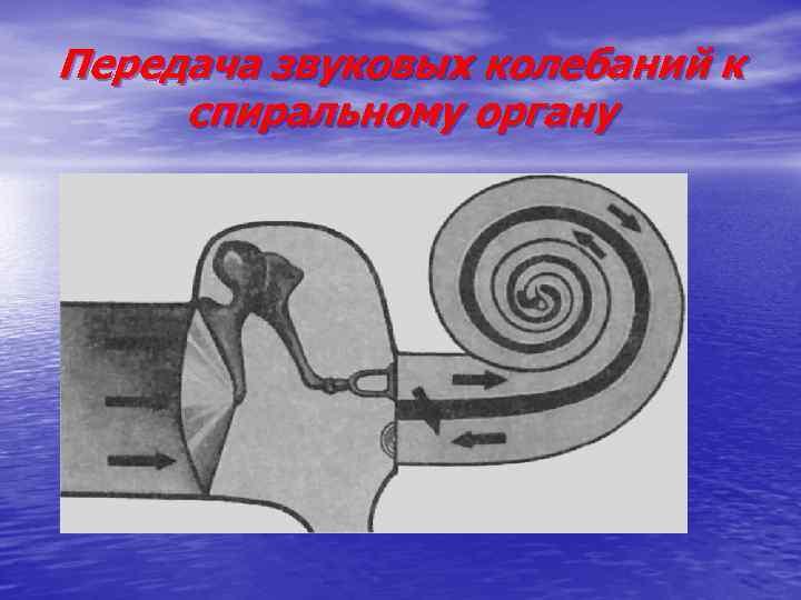 Передача звуковых колебаний к спиральному органу