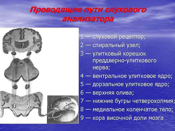 Проводящие пути слухового анализатора 1 — слуховой рецептор; 2 — спиральный узел; 3 —