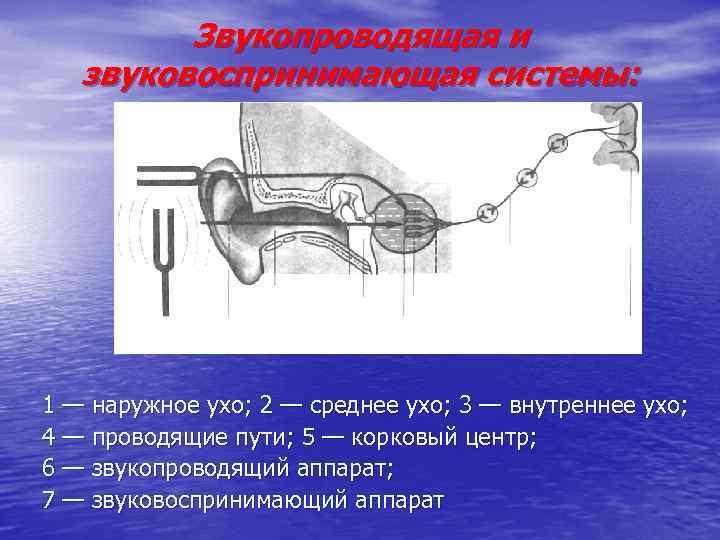 Звукопроводящая и звуковоспринимающая системы: 1 — наружное ухо; 2 — среднее ухо; 3 —