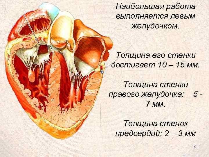 Наибольшая работа выполняется левым желудочком. Толщина его стенки достигает 10 – 15 мм. Толщина