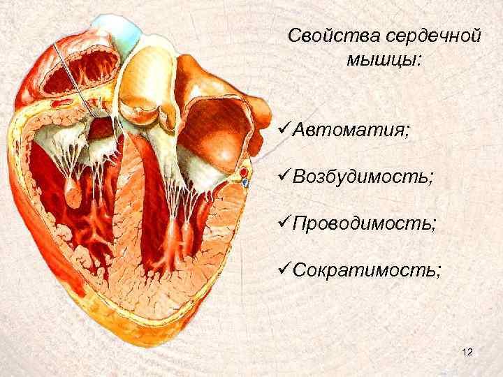 Свойства сердечной мышцы: üАвтоматия; üВозбудимость; üПроводимость; üСократимость; 12