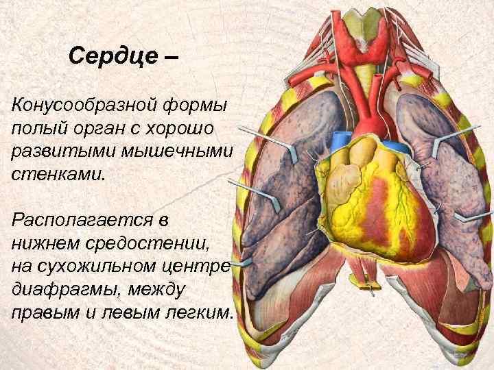 Сердце – Конусообразной формы полый орган с хорошо развитыми мышечными стенками. Располагается в нижнем