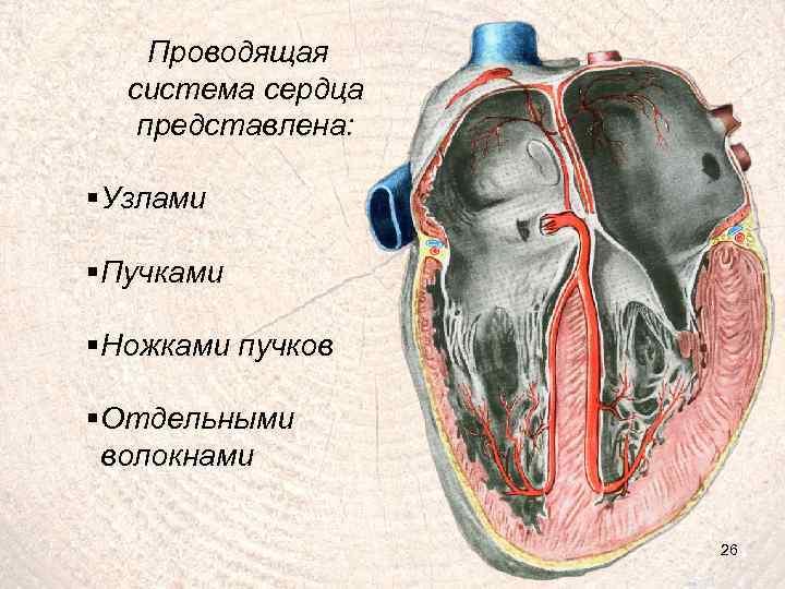 Проводящая система сердца представлена: § Узлами § Пучками § Ножками пучков § Отдельными волокнами