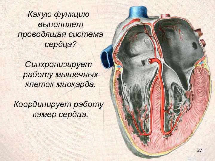 Какую функцию выполняет проводящая система сердца? Синхронизирует работу мышечных клеток миокарда. Координирует работу камер