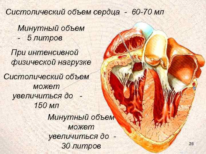 Систолический объем сердца - 60 -70 мл Минутный объем - 5 литров При интенсивной
