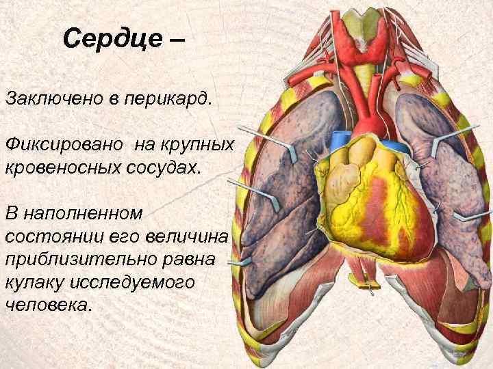 Сердце – Заключено в перикард. Фиксировано на крупных кровеносных сосудах. В наполненном состоянии его