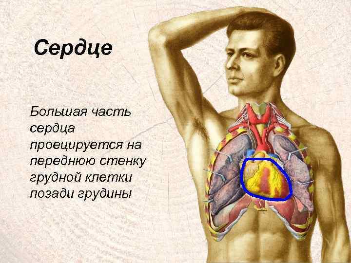 Сердце Большая часть сердца проецируется на переднюю стенку грудной клетки позади грудины 4