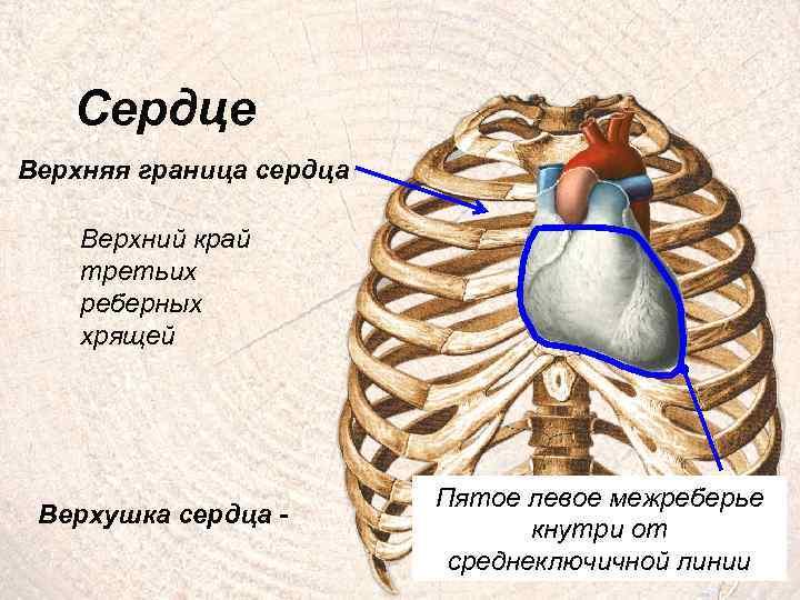 Сердце Верхняя граница сердца Верхний край третьих реберных хрящей Верхушка сердца - Пятое левое