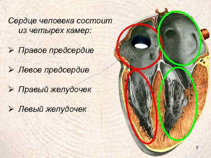 Сердце человека состоит из четырех камер: Ø Правое предсердие Ø Левое предсердие Ø Правый