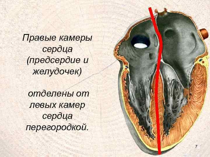 Правые камеры сердца (предсердие и желудочек) отделены от левых камер сердца перегородкой. 7