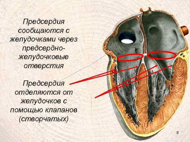 Предсердия сообщаются с желудочками через предсердножелудочковые отверстия Предсердия отделяются от желудочков с помощью клапанов
