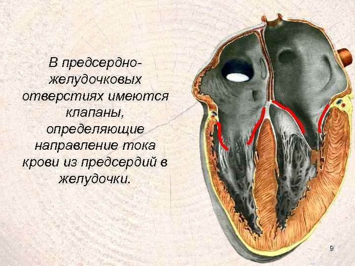 В предсердножелудочковых отверстиях имеются клапаны, определяющие направление тока крови из предсердий в желудочки. 9