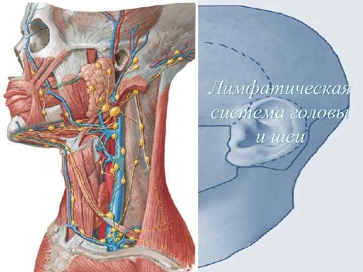 Картинка лимфатические узлы на лице
