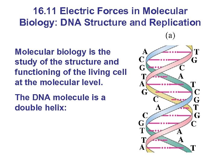16. 11 Electric Forces in Molecular Biology: DNA Structure and Replication Molecular biology is
