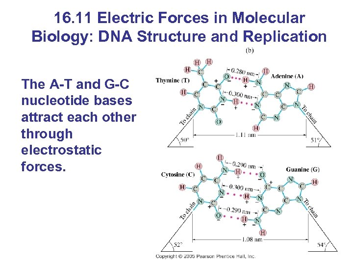16. 11 Electric Forces in Molecular Biology: DNA Structure and Replication The A-T and